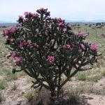 Cholla Cactus in the Upper Sonoran desert/ Rio Grande Valley